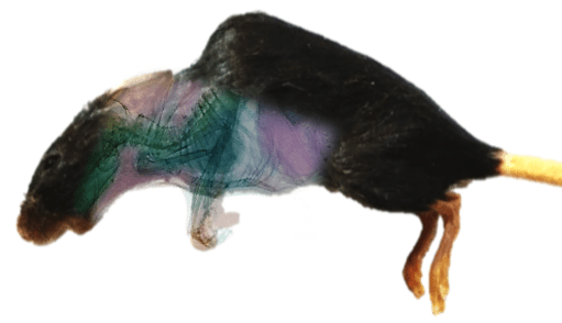 Spectral imaging of a mouse
